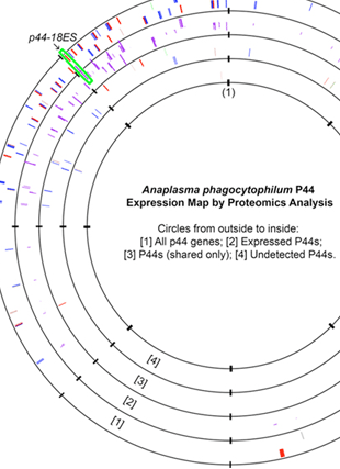 Circular genome visualization and data visualization with Circos: Global Proteomic Analysis of Two Tick-borne Emerging Zoonotic Agents: Anaplasma phagocytophilum and Ehrlichia chaffeensis (310 x 427)