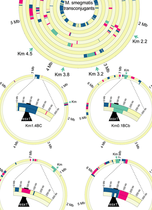 Circular genome visualization and data visualization with Circos: Distributive conjugal transfer in mycobacteria generates progeny with meiotic-like genome-wide mosaicism, allowing mapping of a mating identity locus (310 x 427)